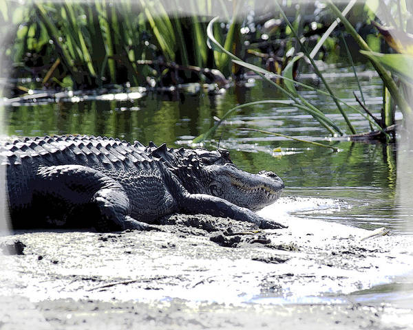 Poster featuring the photograph Florida Alligator On The Sand by William Havle