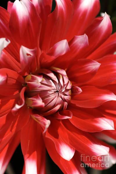 Flower- Dahlia-red-white Poster