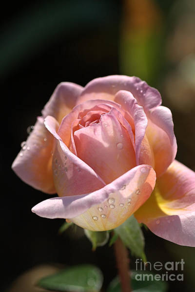 Flower-pink And Yellow Rose-bud Poster