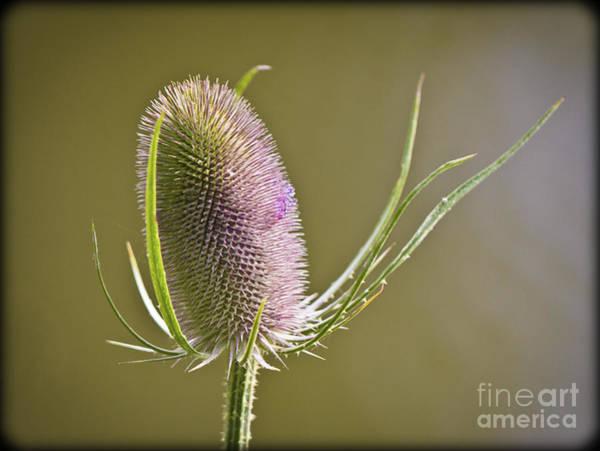 Flowering Teasel. Poster