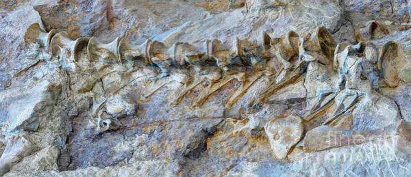 Fossilized Dinosaur Backbone - Dinosaur National National Monument Poster