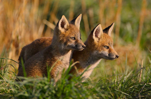 Fox Cubs At Sunrise Poster