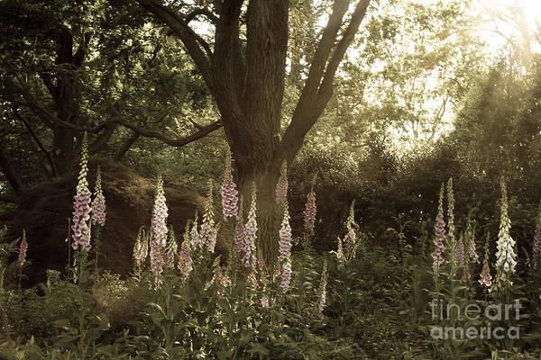 Foxglove Garden Poster