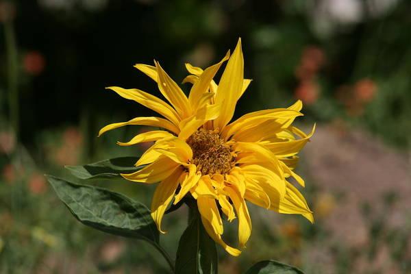 Frail Sunflower Poster