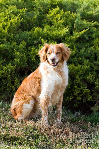 French Brittany Spaniel Poster