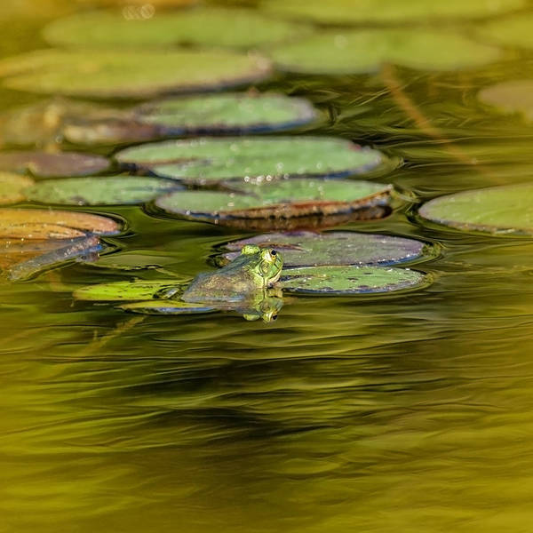 Frog And Lily Pad Poster