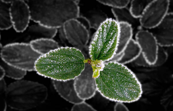 Frosty Leaves Poster