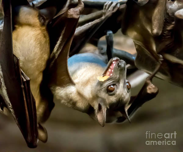 Fruit Bat Fedding Time Poster