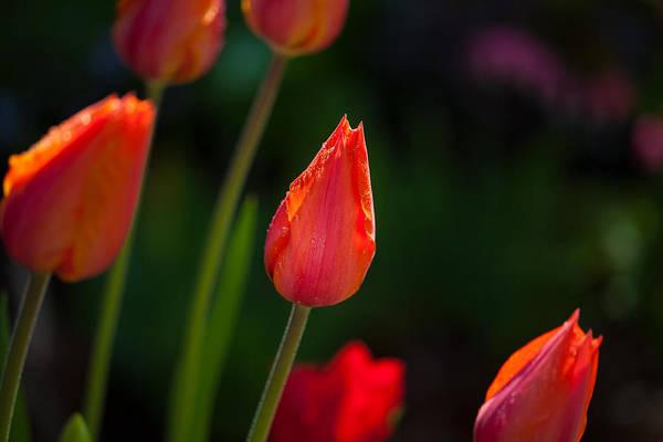 Garden Tulips Poster