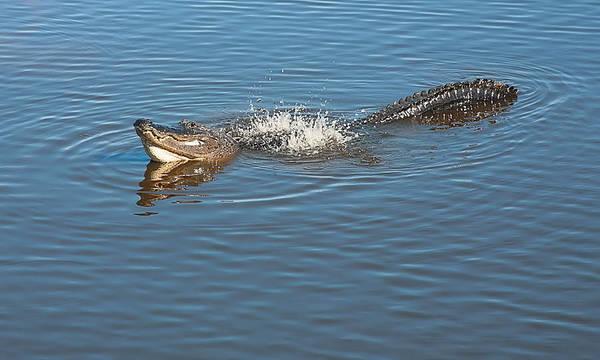 Gator Waves Poster