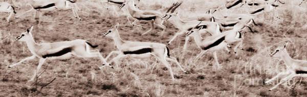 Gazelles Running Poster