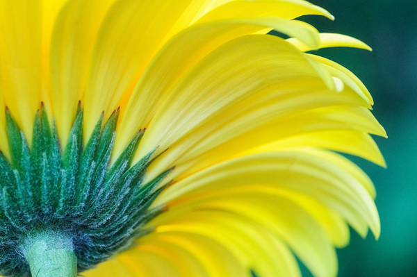 Poster featuring the photograph Gerber Daisy by Garvin Hunter