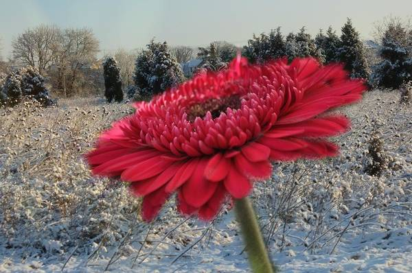 Gerbera Daisy In The Snow Poster
