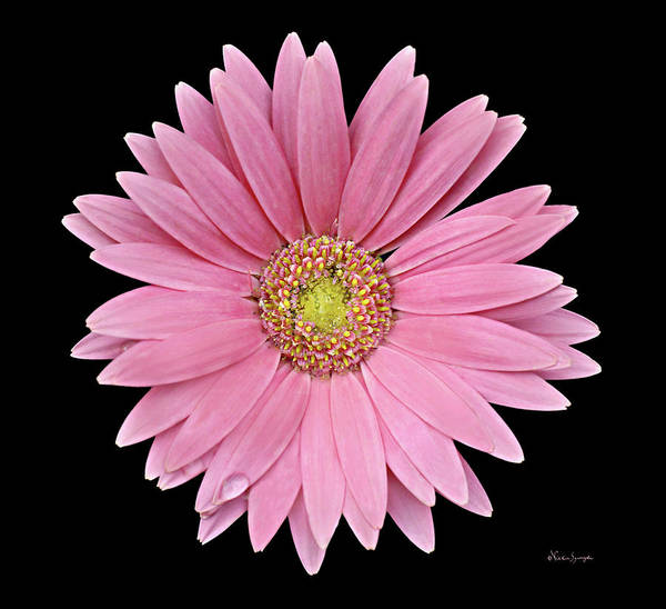 Poster featuring the photograph Gerbera Daisy by Vickie Szumigala