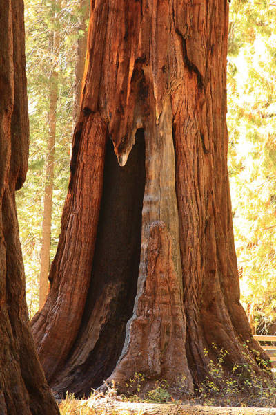 Giant Forest Sequoia Tree Poster