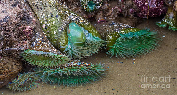 Giant Green Anemone Poster