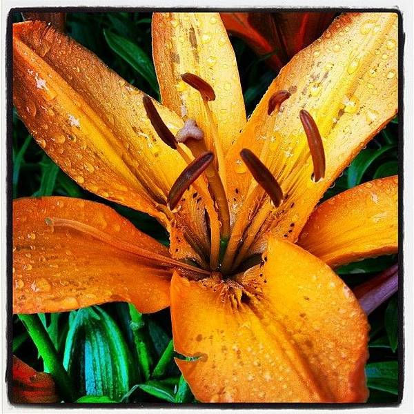 Gift From #mom #orange #lily #rainyday Poster