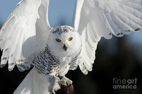 Glowing Snowy Owl In Flight Poster