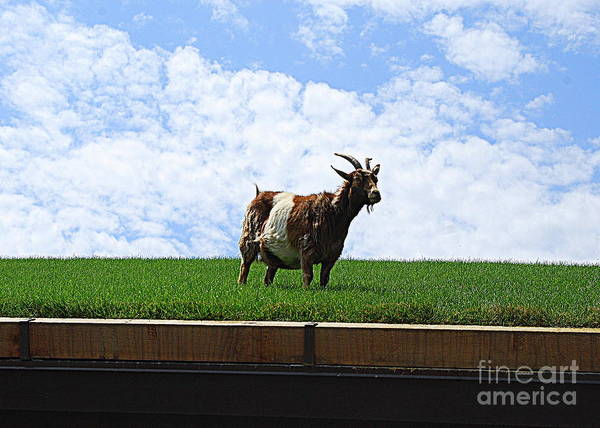 Goat On A Sod Roof In Sister Bay In Wisconsin Poster