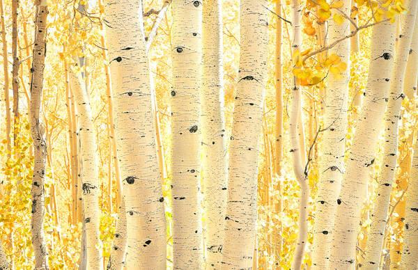 Golden Aspens Utah Poster