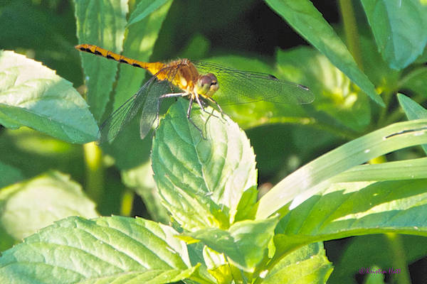 Golden Dragonfly On Mint Poster