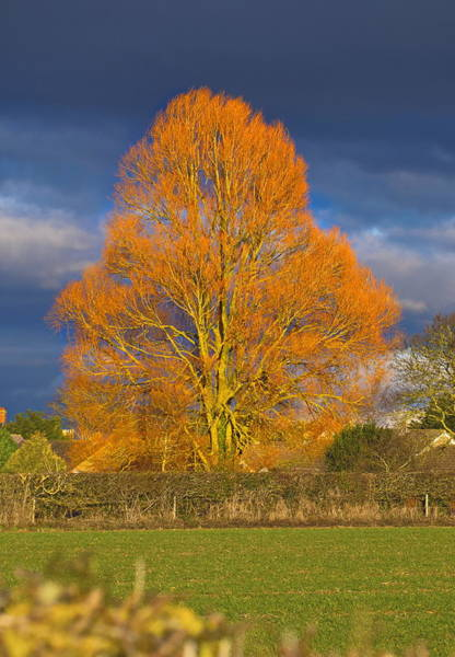 Poster featuring the photograph Golden Glow - Sunlit Tree by Paul Gulliver