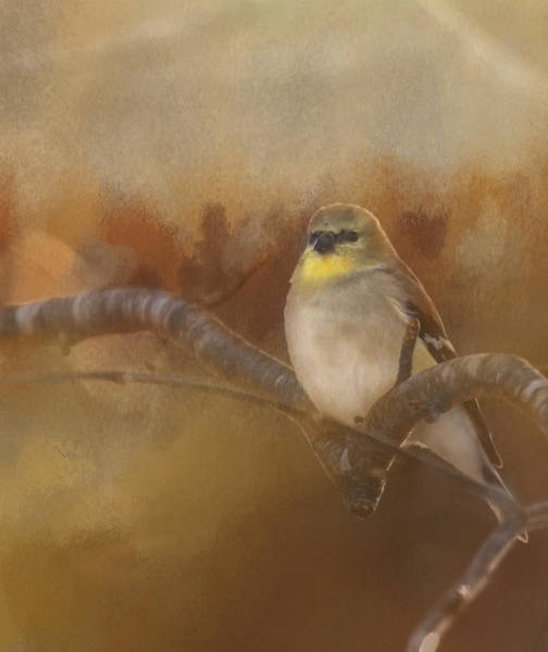 Resting Goldfinch Poster