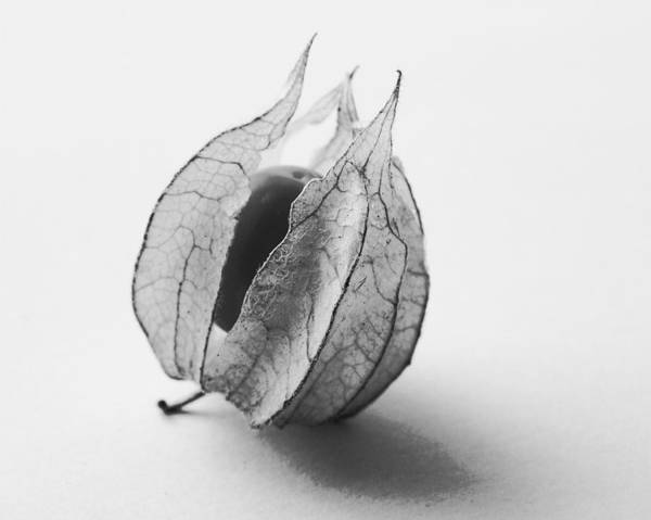Gooseberry In Black And White Poster