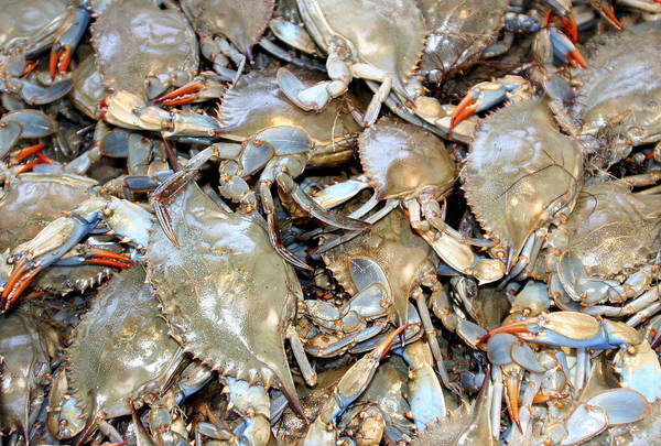 Blue Claw Crabs Poster