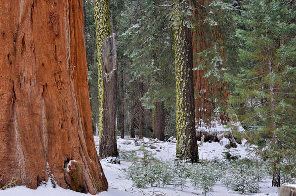 Grant Grove Sequoia's Poster