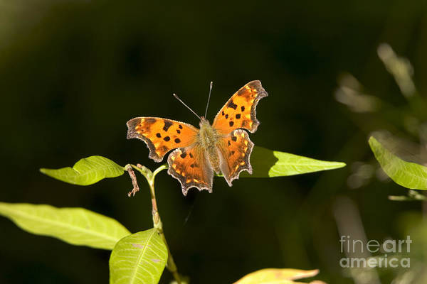 Gray Comma Butterfly Poster
