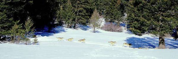 Gray Wolves Canis Lupus Running Poster
