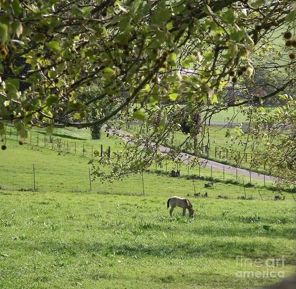 Grazing Under The Oak Tree Poster