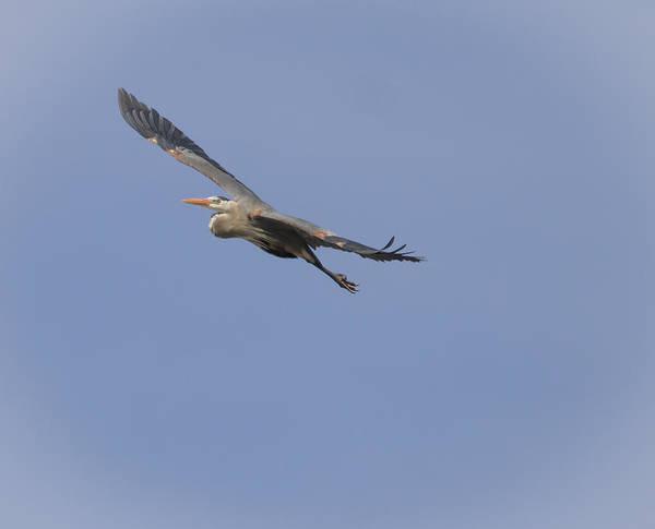 Great Blue Heron In Flight-2 Poster