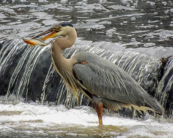 Great Blue Heron With Fish Poster