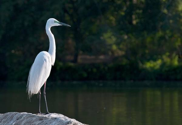 Great Egret At Water's Edge Poster