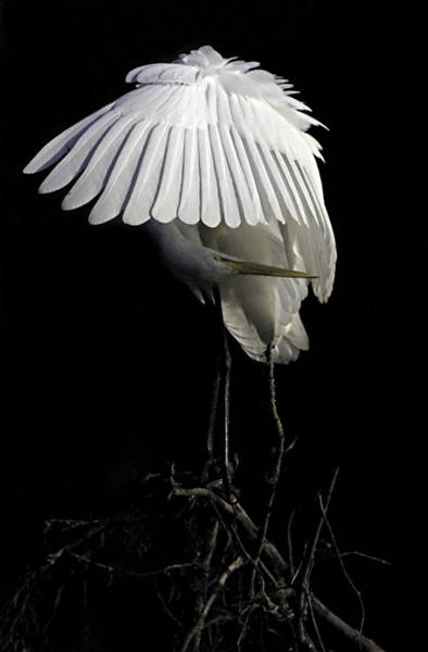 Great Egret Bowing Poster
