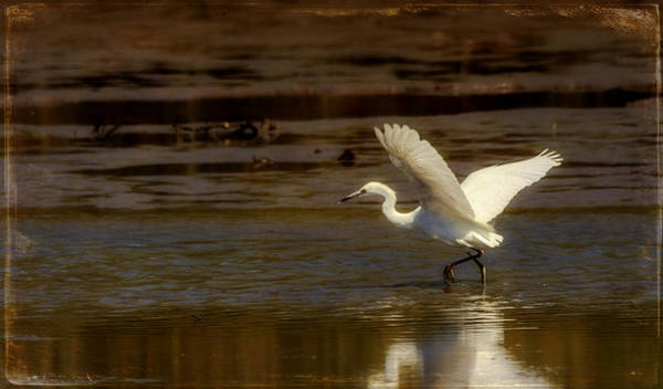 Great Egret Taking Off Poster