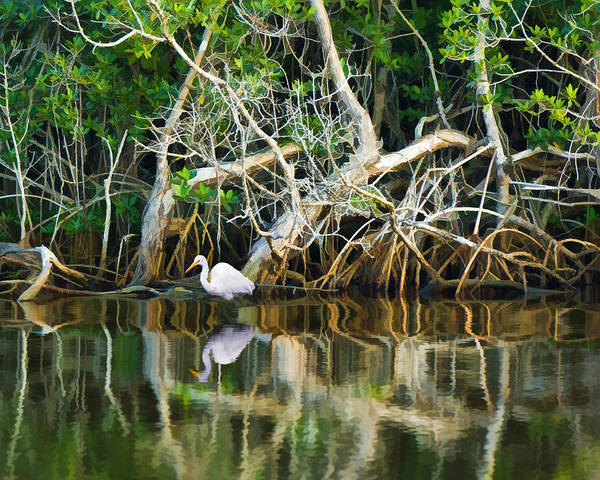Great White Egret And Reflection In Swamp Mangroves Poster