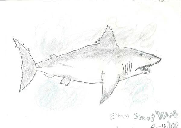 Poster featuring the drawing Great White Shark by Fred Hanna