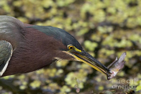 Green Heron Fishing Poster