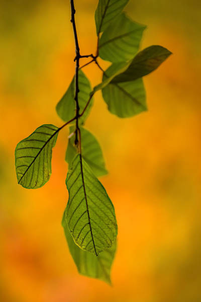Green Leaves In Autumn Poster