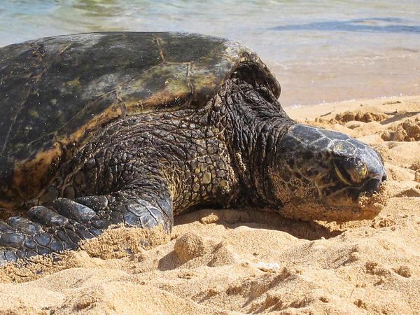 Green Sea Turtle 2 - Kauai Poster