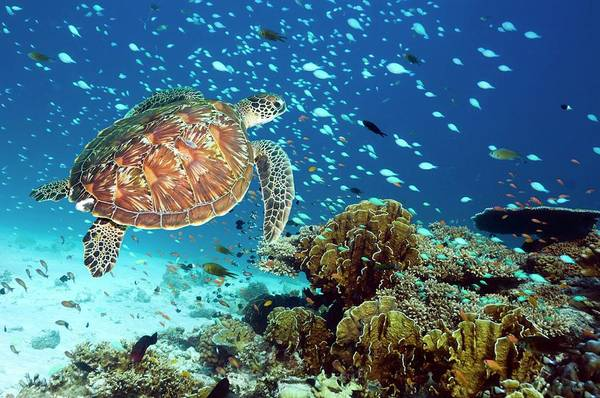 Green Sea Turtle And Reef Fish Poster