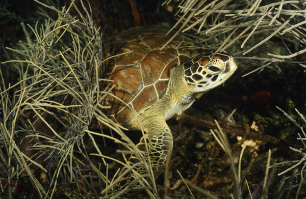 Green Turtle In Soft Corals Poster
