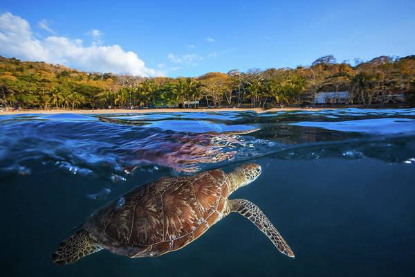 Green Turtle - Sea Turtle Poster