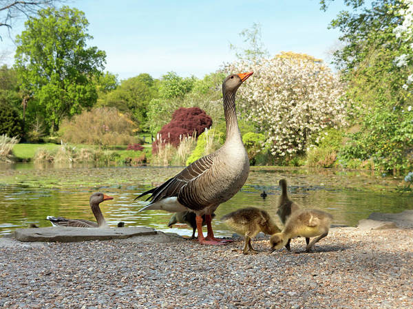 Grey Geese And Goslings Poster