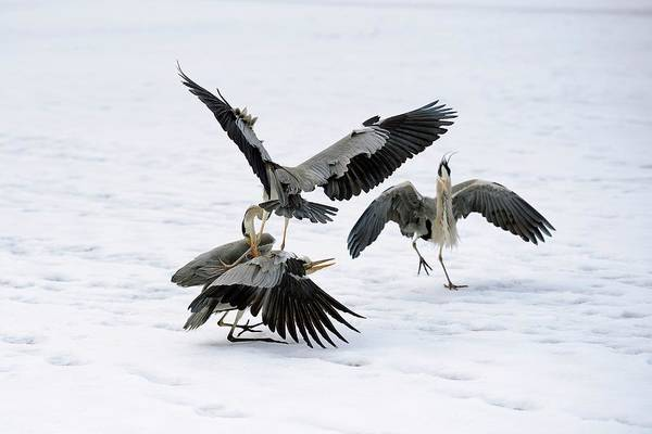 Grey Herons Fighting Over A Fish Poster