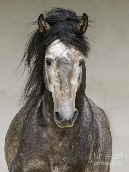 Grey Stallion Runs Head On Poster