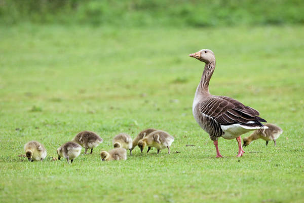 Greylag Goose And Goslings Poster